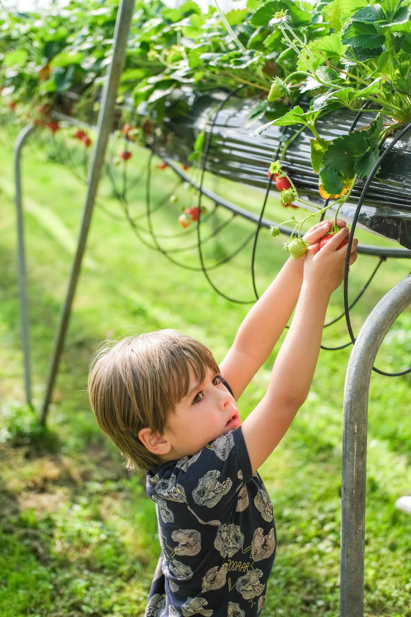 aardbeien plukken met kleuters